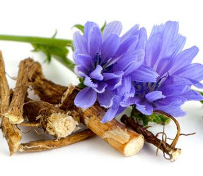Польза и вред цикория растворимого, как приготовить