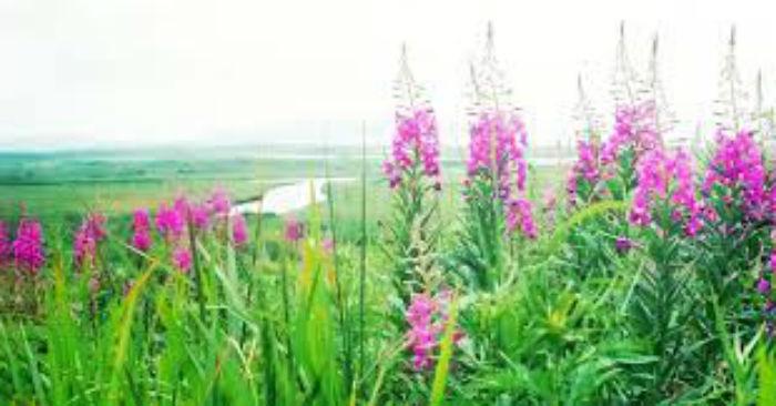 Иван-чай полезные свойства и противопоказания, где растёт