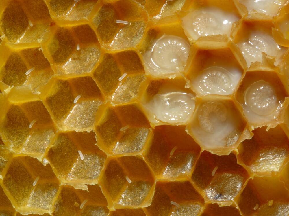 Личинки пчелы в маточном молочке